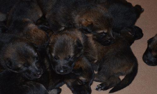 19 января 2017 года в питомнике родились щенки