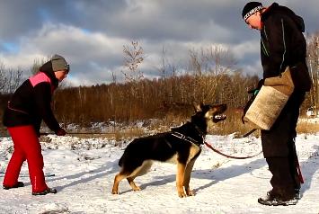 Работа наших собак в Кинологическом центре BESTIAL NATUR (г. Электросталь). Фигурант — Максим Кузнецов.