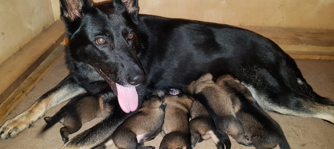 27 июня 2020 года на свет появились 6 зонарных щенков от IGGI Z MEDVEDEJ DOLINY и QUADRA Z KLIDKOVA DVORA